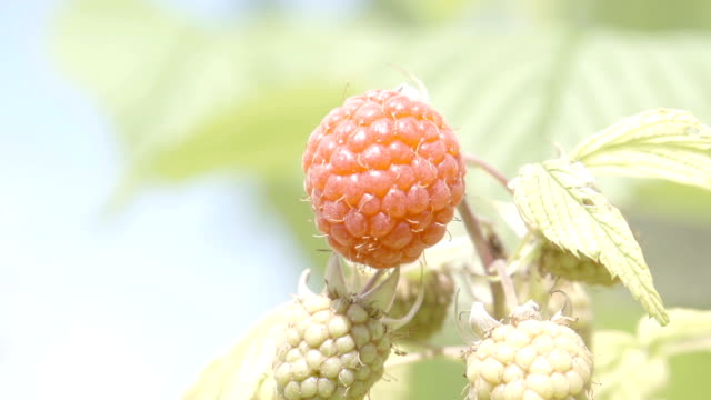Closeup Of Ripe Raspberries video