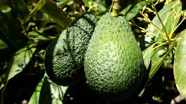 Close-up of ripening Avacados on tree video