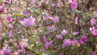 Close-up of spring purple flower video
