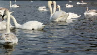 Closeup of swans in love on river video
