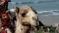 A closeup of the head of a camel video