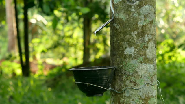 Close-up of the rubber latex drop from a rubber tree video