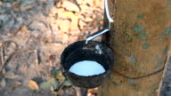 Closeup of the rubber latex drop from rubber tree video