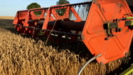Closeup of thresher combine with reel and cutter bars cutting cereal ears. Handheld video