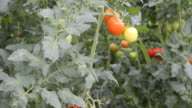 Close-up of tomato plants in greenhouse video