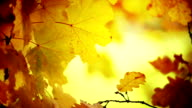 Closeup of tree branch and leaves at fall. video