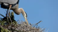 Closeup of Two Heron Chicks With Their Parent video