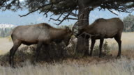 Close-up of Two Mature Bull Elks Playing and Fighting in Rocky Mountain National Park Part 1 video