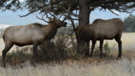 Close-up of Two Mature Bull Elks Playing and Fighting in Rocky Mountain National Park Part 2 video