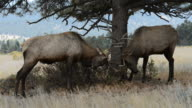 Close-up of Two Mature Bull Elks Playing and Fighting in Rocky Mountain National Park Part 3 video