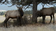 Close-up of Two Mature Bull Elks Playing and Fighting in Rocky Mountain National Park Part 4 video
