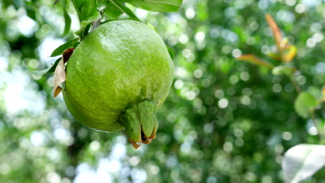 Close-up of unripe pomegranate hanging on branch video