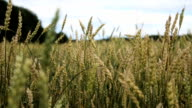 Close-up of wheat ears in field video