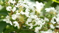 Closeup of White Crepe Myrtle Blossoms video