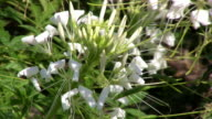 Closeup of White Spider Flower Moving in the Wind video