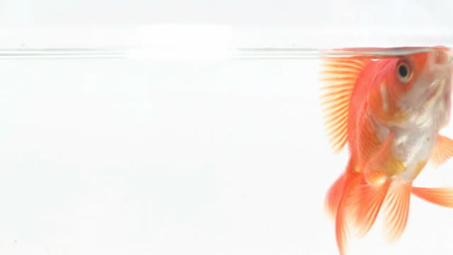 Close-up on goldfish swimming in fish bowl video