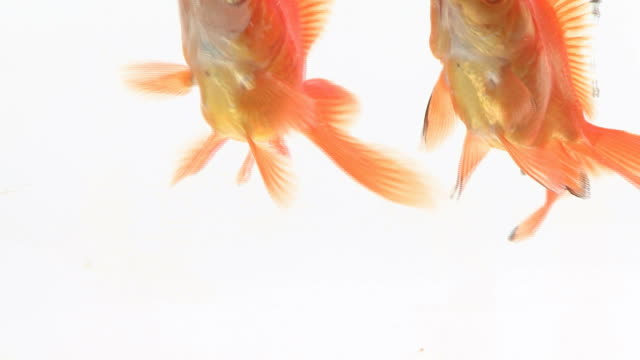 Close-up on two goldfish swimming in fish bowl video
