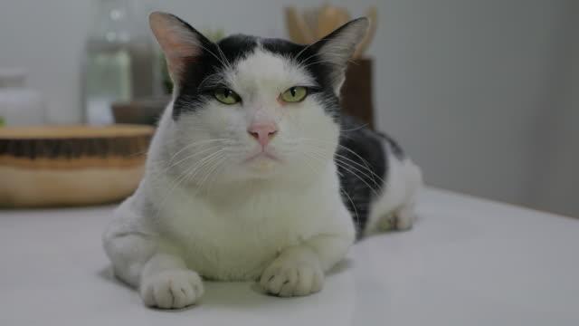 Close-up portrait of beautiful black and white cat, Bicolor cat video
