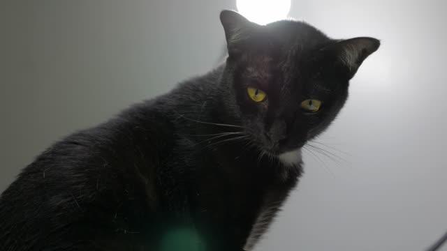 Close-up portrait of beautiful black cat video