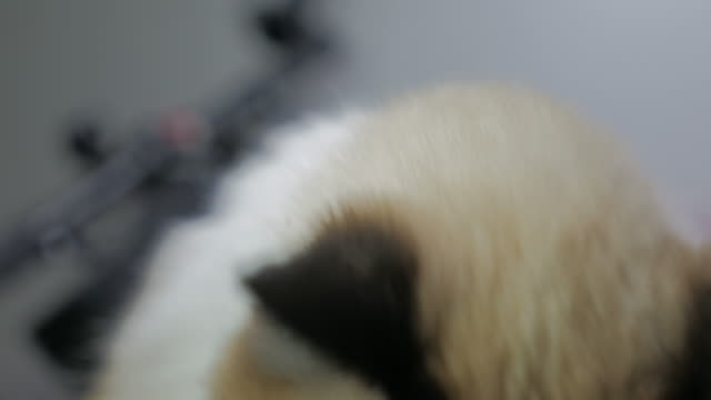 Close-up portrait of beautiful persian cat with blue eye video