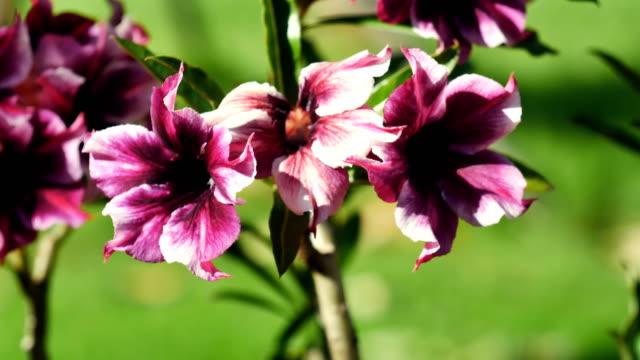 Closeup purple desert rose flower video