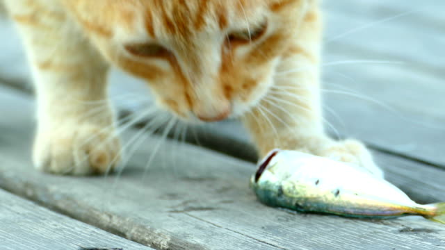Close-up - red cat eating freshly caught fish video