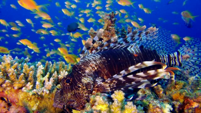 Close-Up Red Sea Lion-Fish video