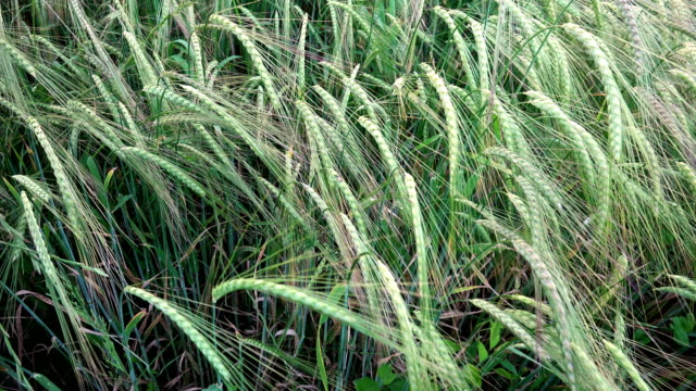 Close-up running through wheat field pov video