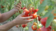 Closeup shoot of man checking tomatoes in greenhouse video