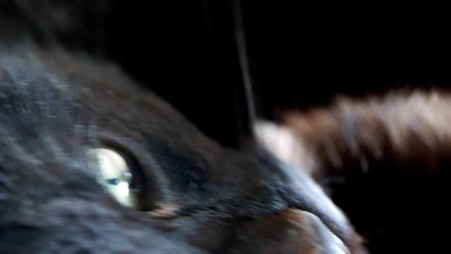 Closeup shot of a black cat's eye video