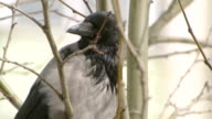 Close-up shot of a crow in the city video