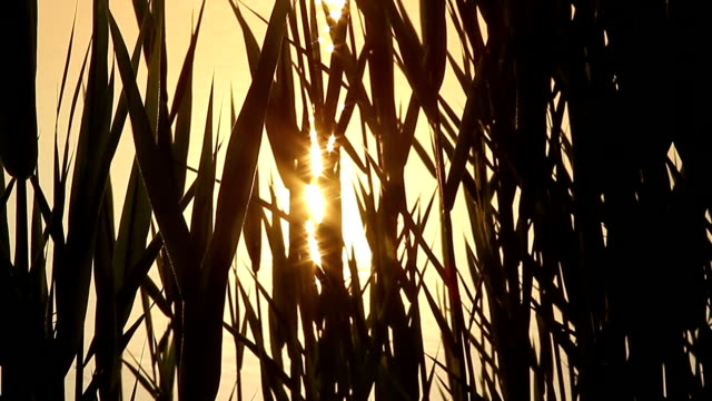 Close-up shot of a reed on the river video
