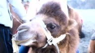 Closeup shot of camel in a desert at Nubra Valley, Ladakh, North India video