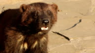 Closeup side face portrait of a wolverine (Gulo gulo) sniffing the air. video