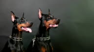 closeup side view of two black and brown dobermans sitting still on isolated dark background video