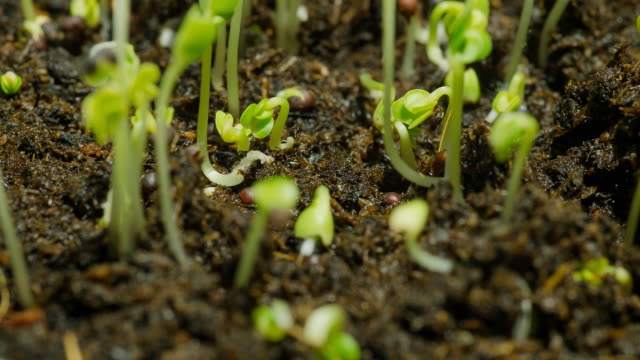 close-up timelapse : green bean sprouts initially grow in soil video