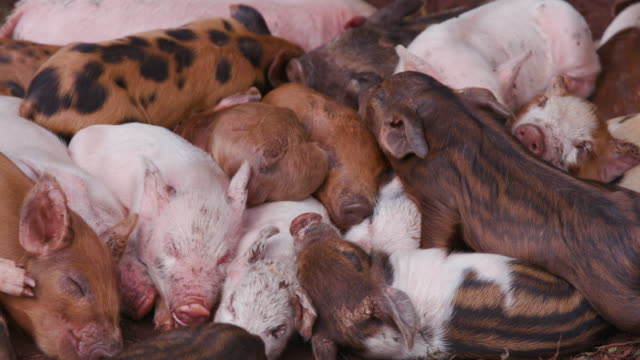 Close-up view of a small group of free-range piglets huddling together having a sleep in a field video