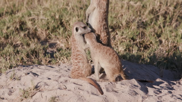 Close-up view of cute baby meerkats interacting with adult ontop of their burrow video