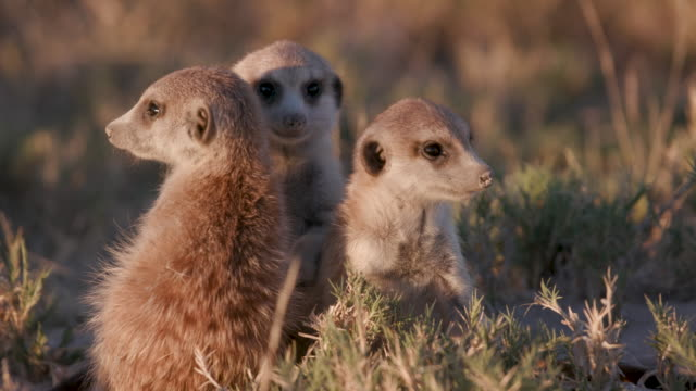 Close-up view of cute baby meerkats sitting together video