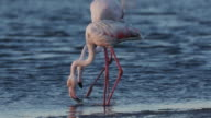 4K Close-up view of greater flamingos feeding video