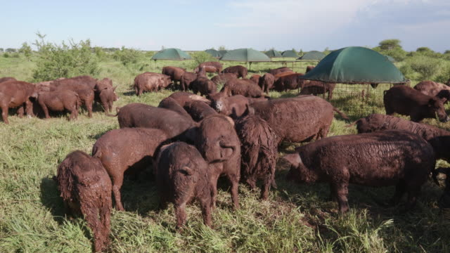 Close-up view of small group of free range pigs feeding in a field video