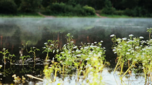 Close-up view of the water plants and fog floats over the water, lake. Beautiful morning landscape at the forest video