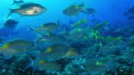 Close-up view of Yellowspot Emperor (Sea Bream) fish undersea video