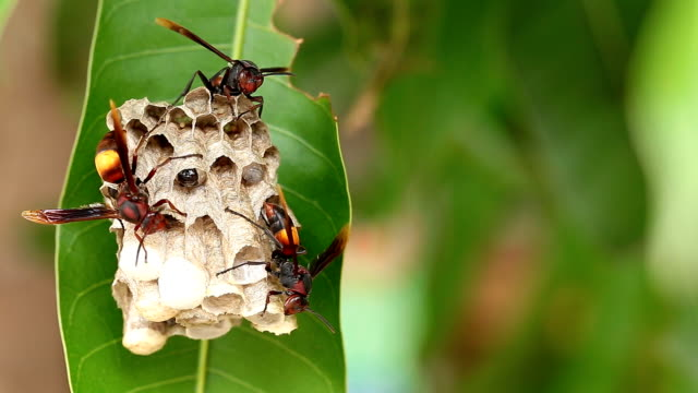 close-up Wasps polist, Wasp nest with wasps sitting on it. video