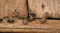 Closeup Working bee video