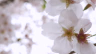 Close-up:Cherry blossoms video