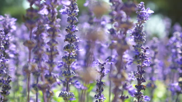 Close-up:Lavenders flowers video