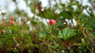 Cloudberry-Northern Berry. The Yamal Peninsula. video