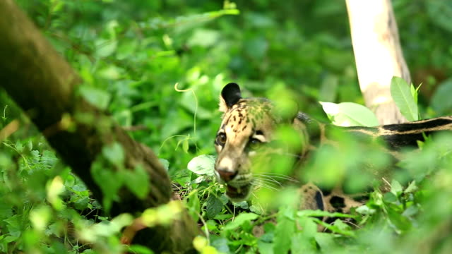 Clouded Leopard video