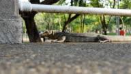 Clouded monitor lizard(Varanus nebulosus) at Lumphini park, Bangkok video